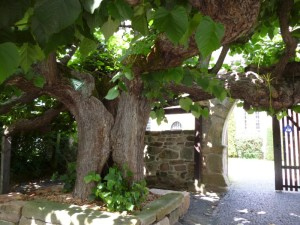 Alter Baum in Ostheim