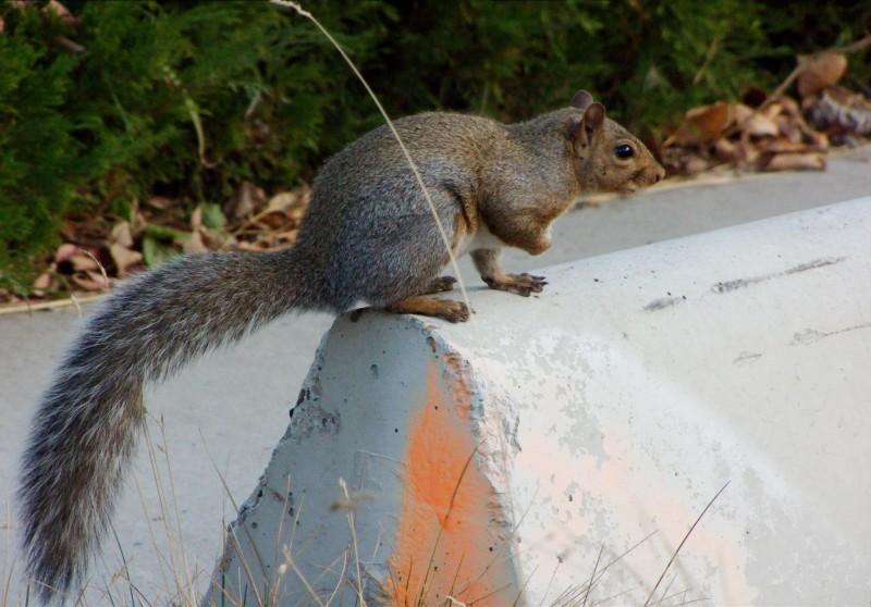the grey species of squirrls