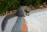 the grey species of squirrls